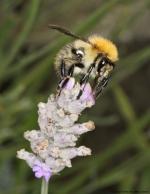 fractal-sharpened-bee
